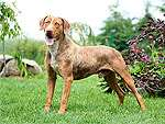 Louisiana Catahoula Leoparden